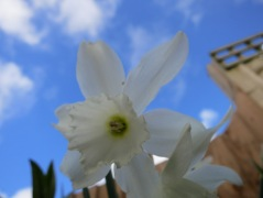 Looking up into a white daffodil today
