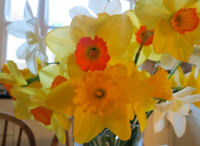 Mixed Cornish daffodils