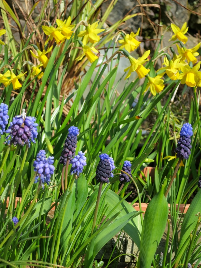 Tete a Tete and Muscari still flowering 2.4.2013