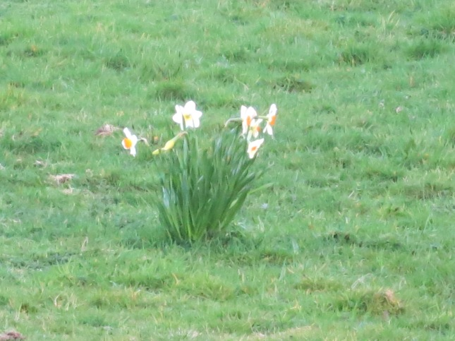 Zoomed in on the Narcissi
