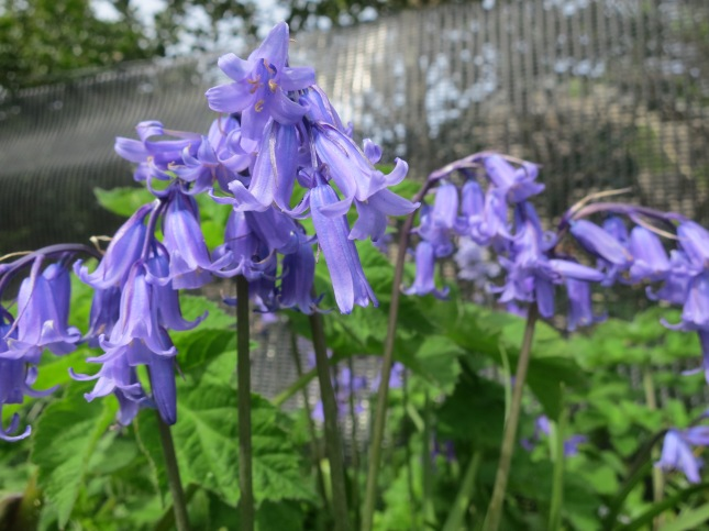 Beautiful English Bluebells