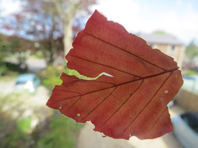Copper Beech leaf against the window