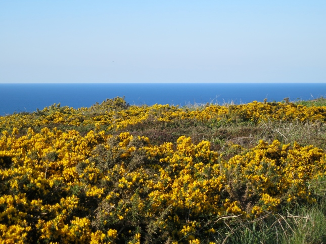 Golden gorse and the sea