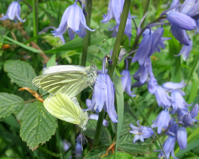 Green-Veined White butterflies mating