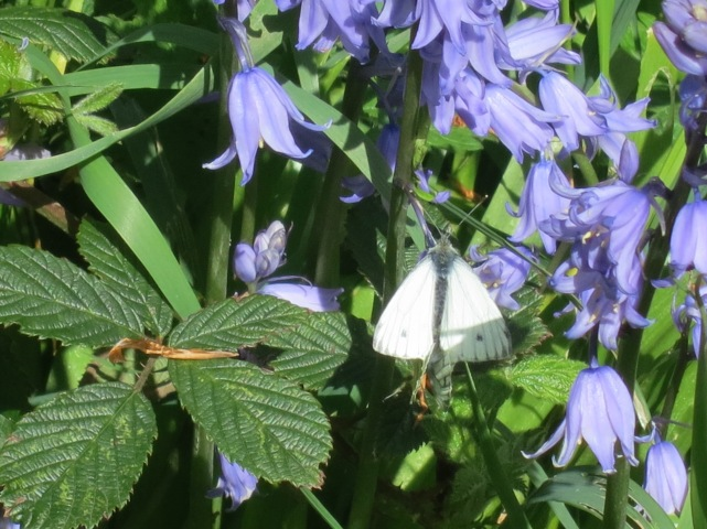 Bluebells with a Gren Veined White butterfly