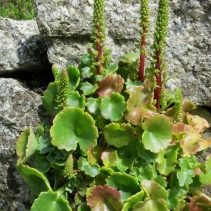 Pennywort with flowers