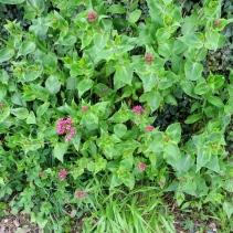 Pink Valerian