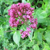 Pink Valerian close-up