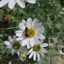 Daisy with bee