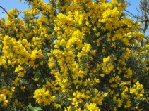 Glorious golden Gorse or Furze