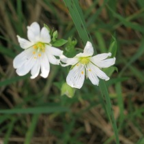 Is this a Lesser Stitchwort?