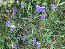 Dog Violets, also edible