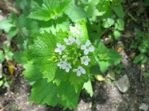 White dead nettle, edible