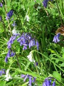 Bluebells and Three Cornered Leeks