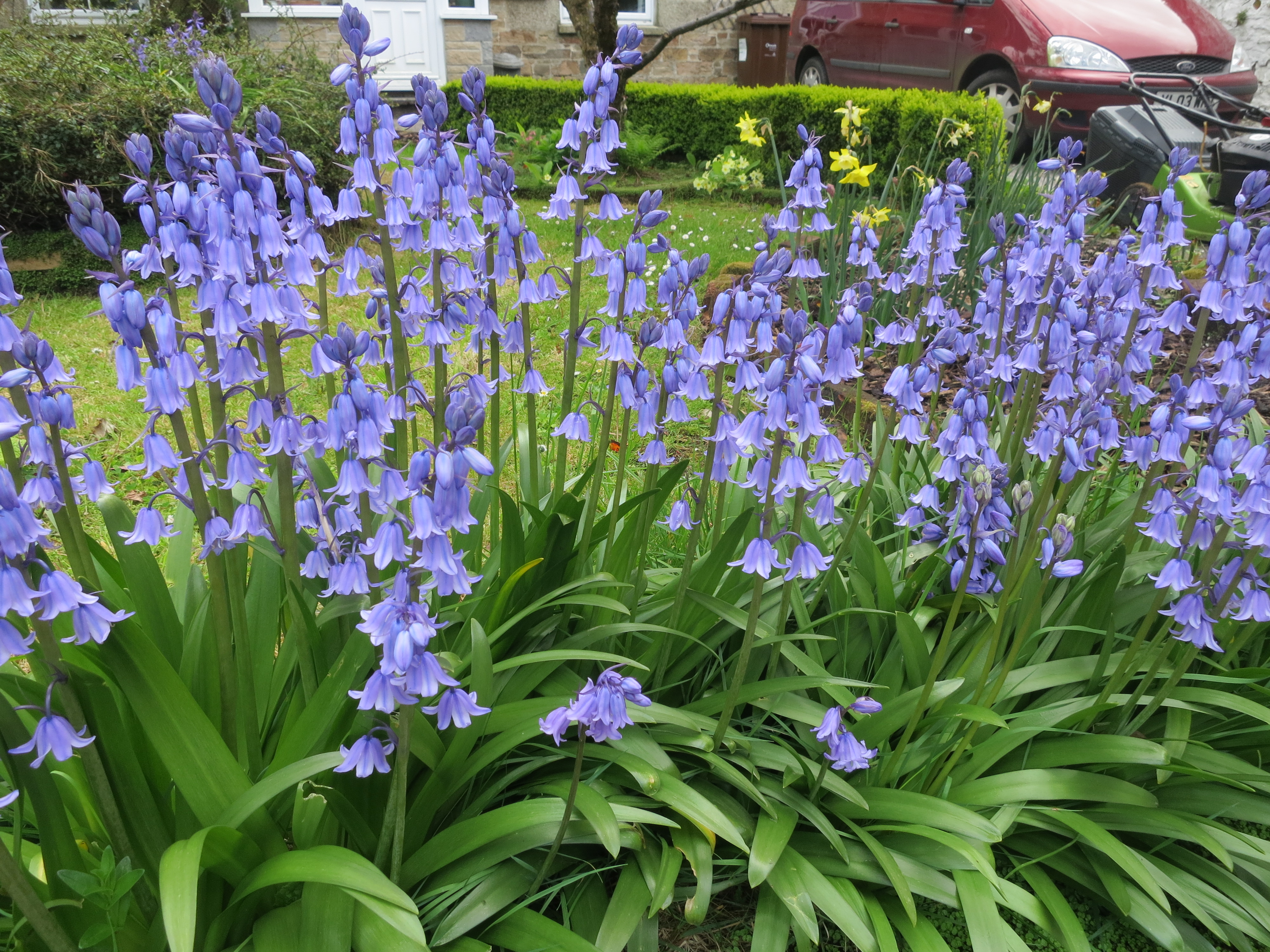 difference between English bluebells and Spanish bluebells