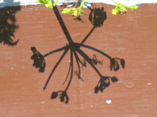 Cow parsley shadow