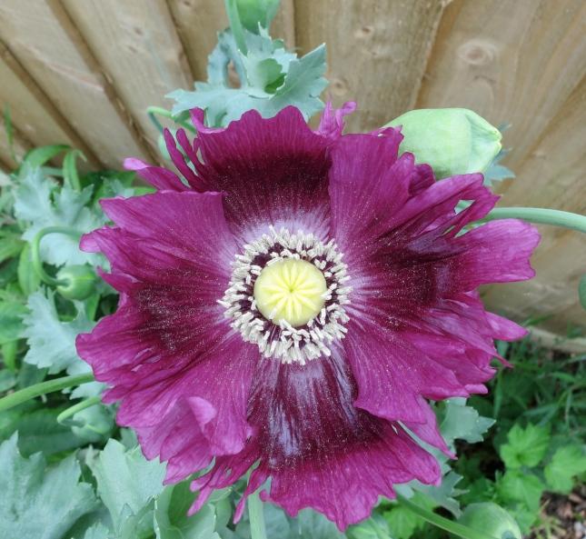 Purple poppy in my Suffragette garden
