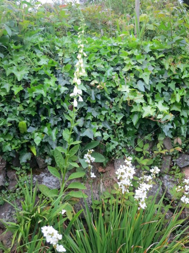 White foxglove and Libertia Grandiflora