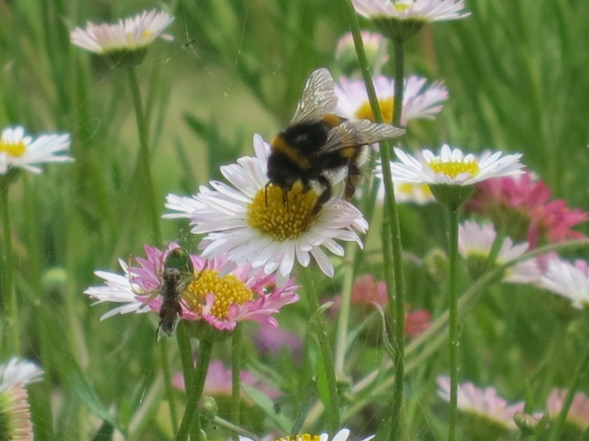 Bee on a daisy with spider and web