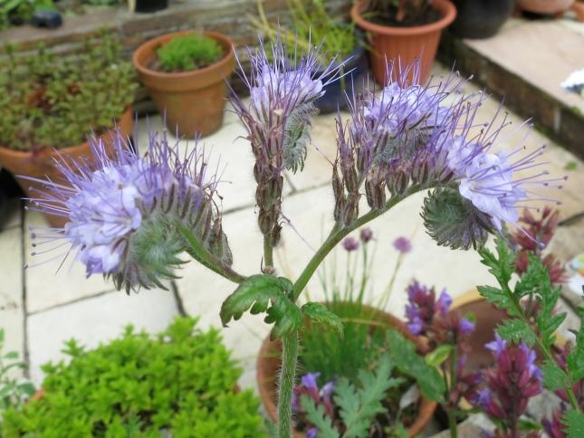 Unidentified flower, self seeded