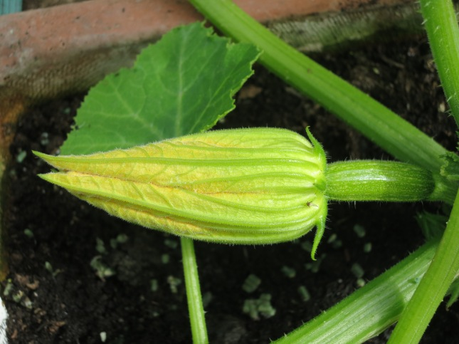 First Courgette flower