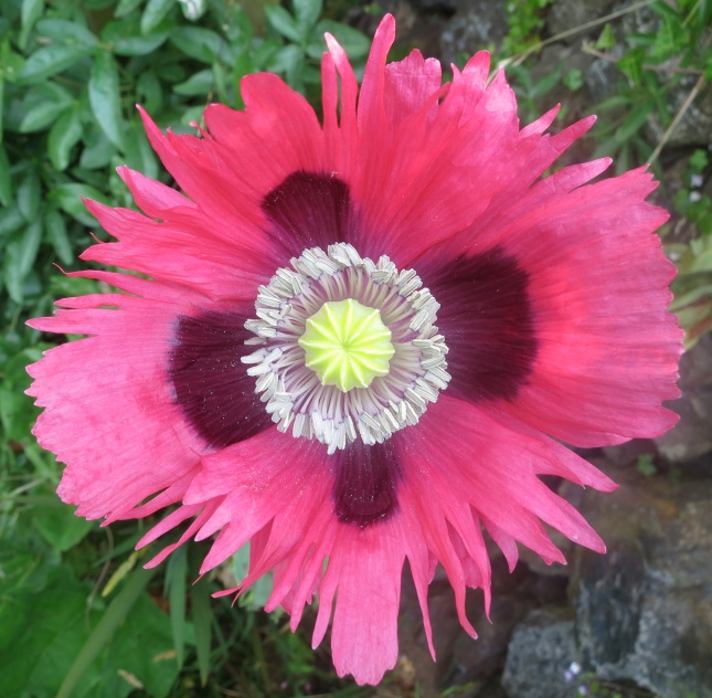 Frilly poppy