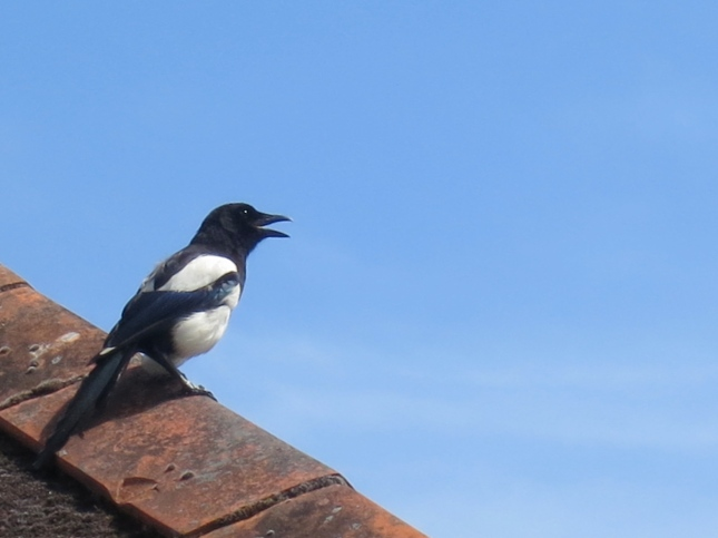 Panting Magpie, finding it all too hot