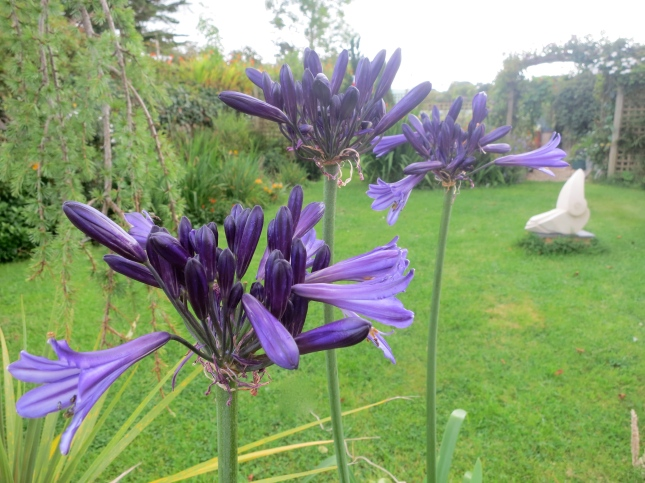 Agapanthus just starting to open