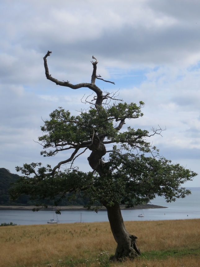 Old oak tree from another angle, the Carrick Roads in the distance