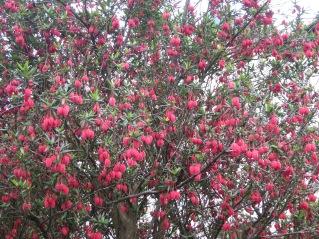 Chrinodendron Hookerarium in full bloom