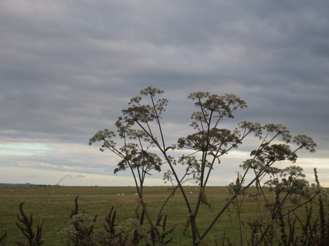Cow parsley against a darkening sky