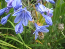 Agapanthus, grass and bee