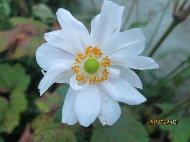 Last Japanese Anemone