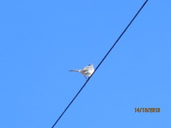 Song bird on a wire on Cape Cod