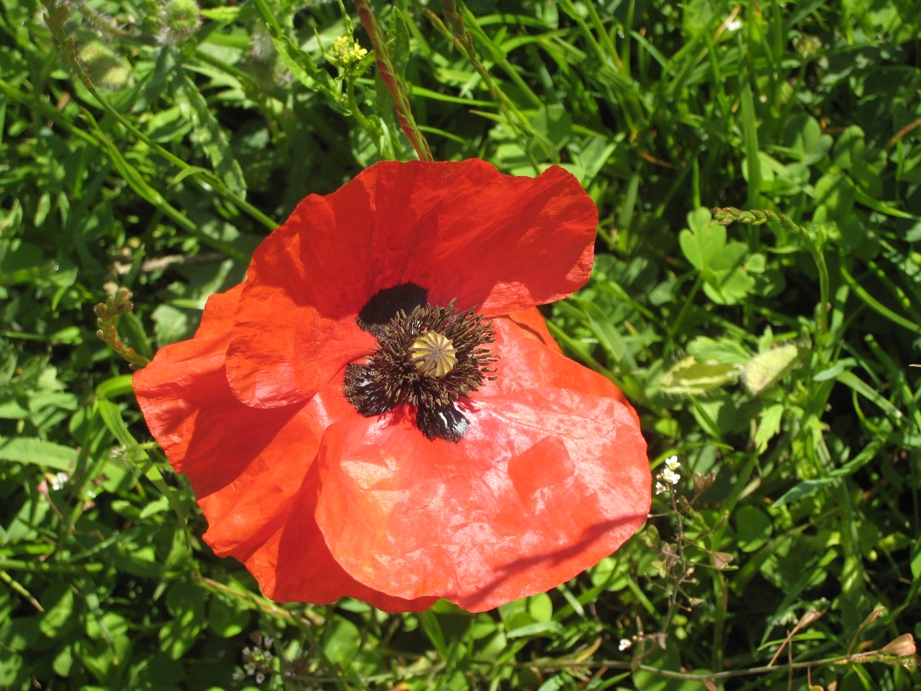 Lest we forget poppy fields and a poem mybeautfulthings poppy from that field mightylinksfo