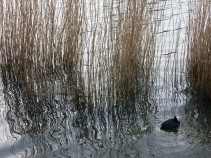 Coot and reeds