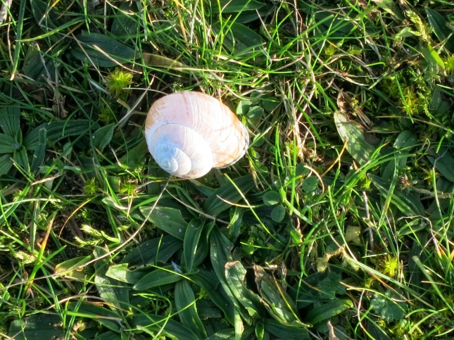 Delicate snail shell