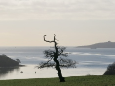 Tree against the Carrick Roads