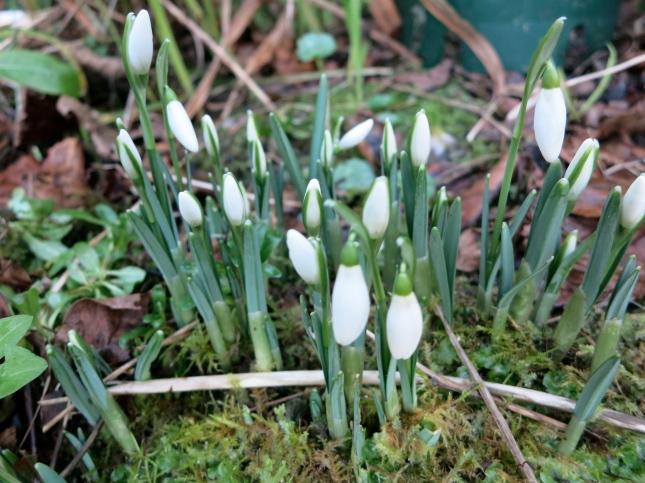 Snowdrops in our garden