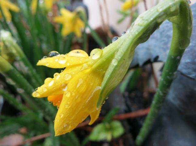 Daffodil opening in the rain