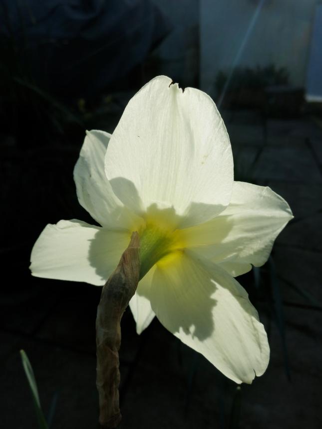 Sunlit Narcissus