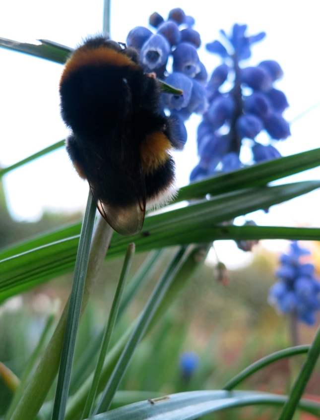 Bee on Muscari