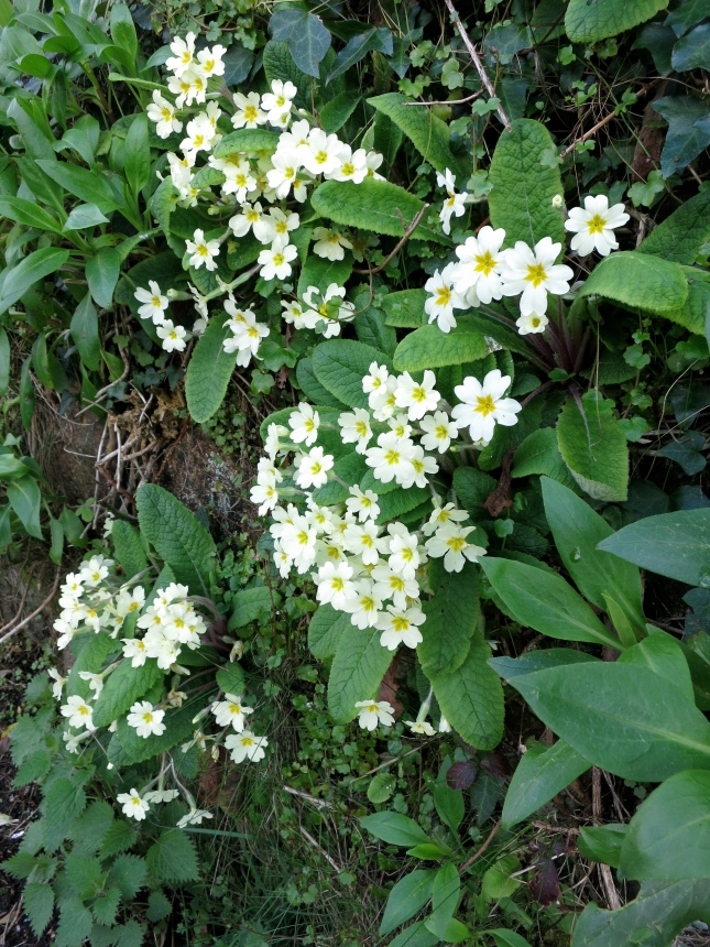 Cornish hedge full of primroses