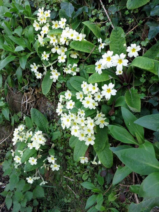 Cornish hedge full of primroses