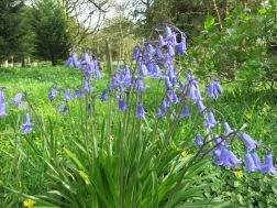 Beautiful English Bluebells