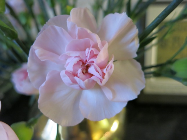 One perfect Carnation