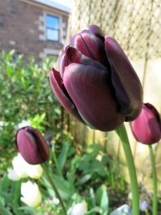 Plain purple tulip