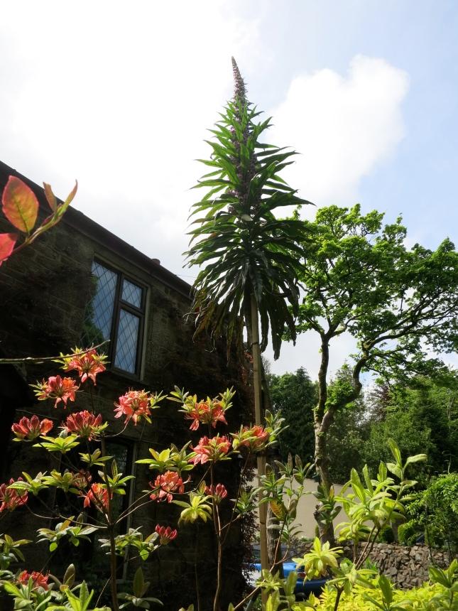 Triennial Echium in flower