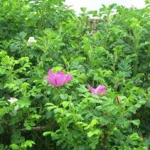 Dog Roses