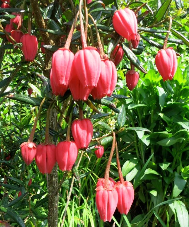 Crinodendron Hookerarium